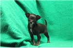 Picture of Murray / Chihuahua