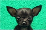 Picture of Missie / Chihuahua