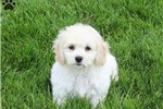 Cockabichon for sale