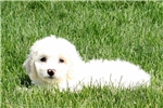 Cockabichons for sale