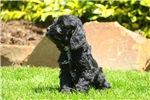 Picture of Gordy / Cockapoo