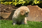 Picture of Lucy / Cockapoo