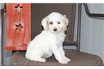 Picture of Melody / Cockapoo