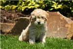 Picture of Link / Cockapoo