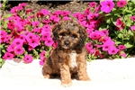 Picture of Giselle / Cockapoo