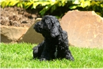 Picture of Ginny / Cockapoo