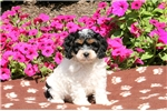 Picture of Gala / Cockapoo