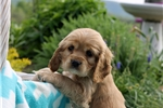 Picture of Lucy / Cocker Spaniel