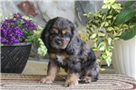 Picture of Shelby / Cocker Spaniel