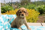 Picture of Lizzy / Cocker Spaniel