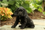 Picture of Molly / Cocker Spaniel