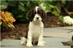 Picture of Maxwell / Cocker Spaniel