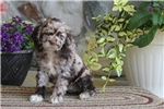 Picture of Sally / Cocker Spaniel