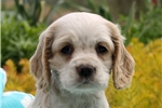 Picture of Layla / Cocker Spaniel
