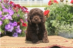 Picture of Ricky / Cocker Spaniel