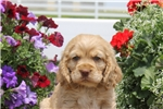 Picture of Randy / Cocker Spaniel