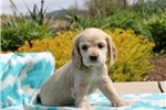 Picture of Lisa / Cocker Spaniel