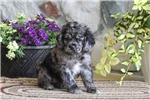 Picture of Shirley / Cocker Spaniel