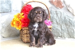 Picture of Jodie / Cocker Spaniel