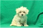 Picture of Daisy / Coton De Tulear