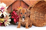 Picture of a Mini Dachshund Puppy