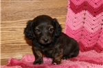 Picture of Ava / Dachshund