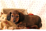 Picture of Fudgie - Dachshund Long Haired