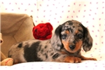 Picture of Teddy Bear / Dachshund