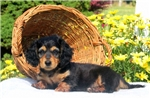 Picture of Joey / Dachshund