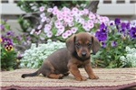 Picture of Dynamite / Dachshund