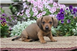 Picture of Dexter / Dachshund