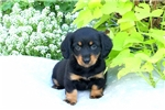 Picture of Pansy / Dachshund