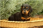 Picture of Ophelia / Dachshund