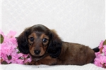 Picture of Sally / Dachshund