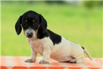 Picture of Kelty / Dachshund