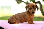 Picture of Duddley / Dachshund
