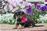 Picture of Dixie / Dachshund