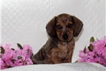 Picture of Sparkles / Dachshund