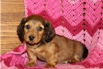 Picture of Acer / Dachshund