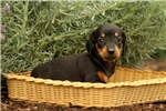 Picture of Olivia / Dachshund