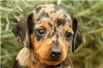 Picture of Oswald / Dachshund