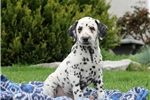 Hugo / Dalmation | Puppy at 7 weeks of age for sale