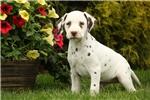 Picture of Alyssa / Dalmatian