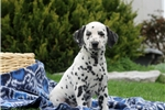 Heath / Dalmation | Puppy at 7 weeks of age for sale