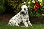 Picture of Avery / Dalmatian