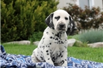 Picture of Howie / Dalmation