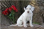 Picture of Kolby / Dalmatian