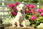 Picture of Cady / Dalmatian