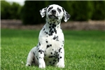 Picture of Oliver / Dalmatian