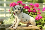 Picture of Corky / Dalmatian